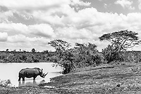 Black and White image of a wallowing White Rhino, Phinda private Game Reserve, KwaZulu Natal, South Africa