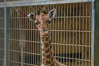 This is the second baby giraffe to be born at the zoo in Lyon since the installation of the African plains in 2007. He was born at the end of January.<br /> As this can also happen when giraffes are born in the wild, the mother of the baby giraffe has abandoned its small and the zoo teams have implemented a strict protocol to allow the animal to be fed without bottle-fed; there are only 3000 in Africa and 74 in captivity in Europe. The Lyon Zoo participates in the European breeding program for this subspecies. This baby giraffe Lyon is the second to be born since the beginning of 2015 in Europe and the City of Lyon Lyon offers to vote for their favorite name among three proposals: Yanci (Freedom), Wayo (malignant) or TSAWO (The Great)<br /> These names are all of a dialect of Niger, region of origin of giraffes.