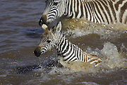 Plains Zebra<br /> Equus burchelli<br /> Maasai Mara Reserve, Kenya<br /> A young foal (2-3 weeks old) crossing the Mara River