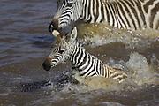 Plains Zebra<br /> Equus burchelli<br /> Maasai Mara Reserve, Kenya<br /> A young foal (2-3 weeks old) crossing the Mara River