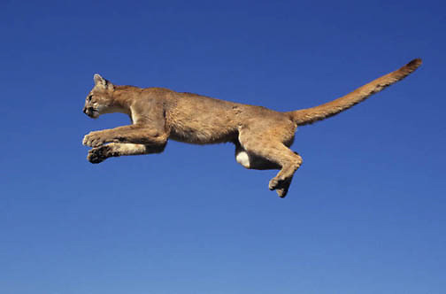 Mountain Lion or Cougar, (Felis concolor) Sub adult in airborne jump. Montana.  Captive Animal.