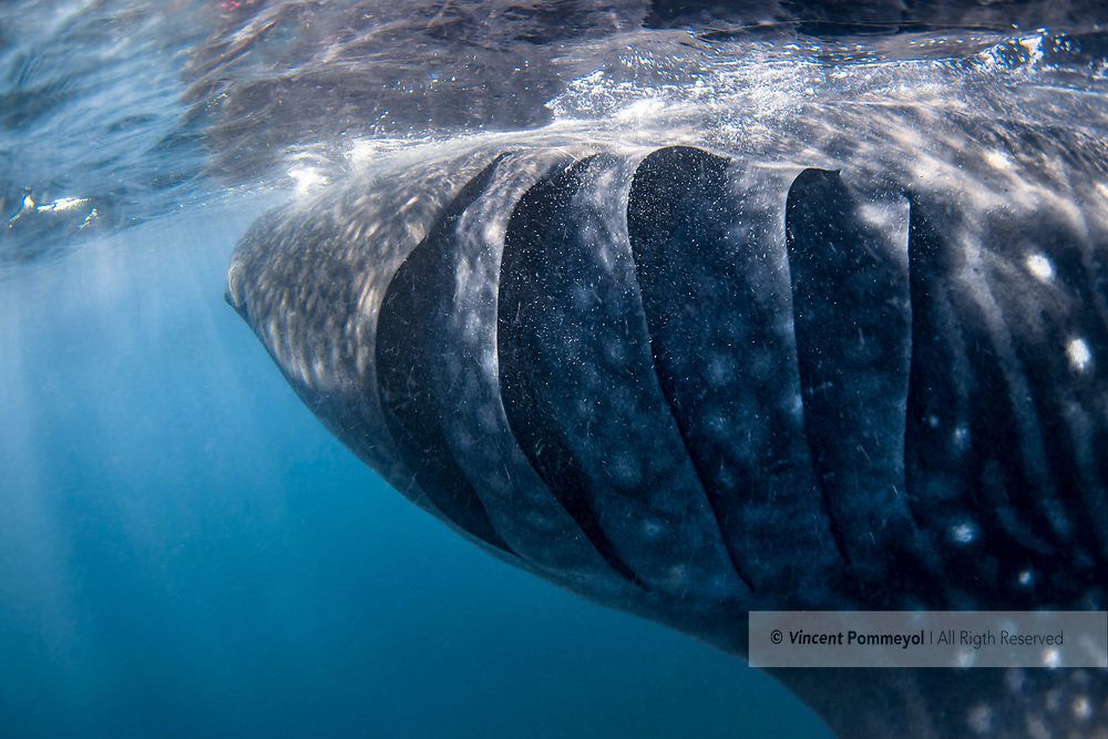 Whale shark - Requin baleine (Rhincodon typus), Yucatan peninsula, Mexico.<br />