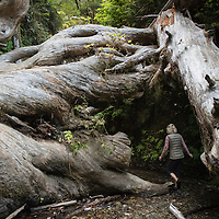 A woman hikes under fallen trees into Fern Canyon, a canyon in the Prairie Creek Redwoods State Park in Humboldt County, California, USA. It was one of the shooting locations of the movie Jurassic Park 2: The Lost World.