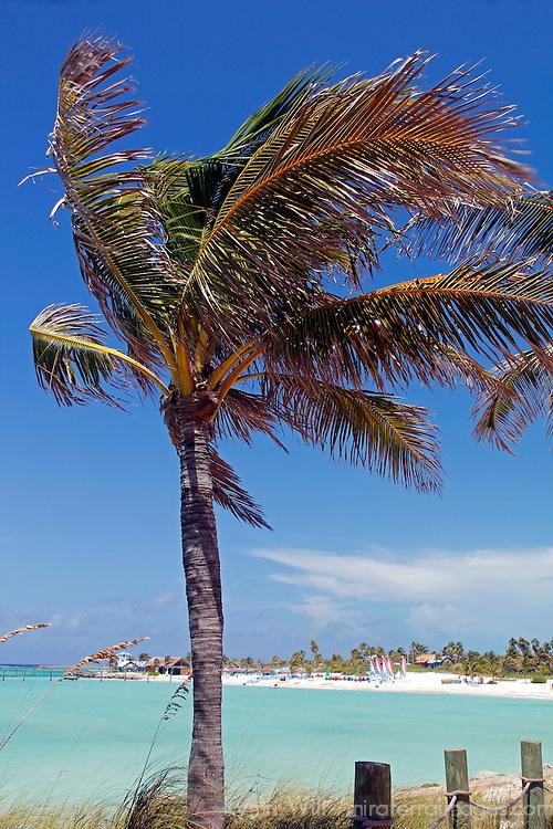 Caribbean, Bahamas, Castaway Cay. Palm Tree of Castaway Cay.