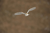 Arglam - Barn Owl in Flight