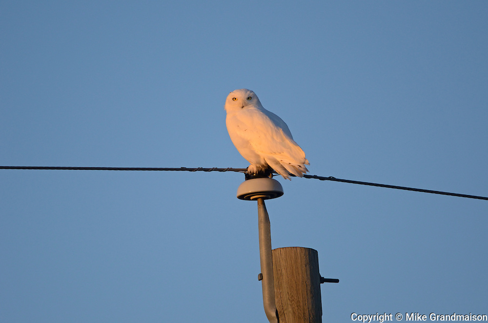 Snowy owl (Bubo scandiacus) perched on hydro line at sunrise<br /> near Altona<br /> Manitoba<br /> Canada