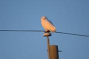 Snowy owl (Bubo scandiacus) perched on hydro line at sunrise<br /> near Altona<br /> Manitoba<br /> Canada
