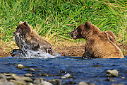 Every time mom caught a fish the two yearling cubs would run over and to try to get their share.  Mom had trouble trying to get a bite or two before she let one of the cubs steal the fish away.  The cub pictured here was an expert in snatching the fish and running.  It is really quite amazing how much fish a cub can consume in a few hours.