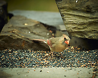 Female Northern Cardinal. Image taken with a Nikon D4 camera and 600 mm f/4 VR lens (ISO 320, 600 mm, f/4, 1/800 sec).