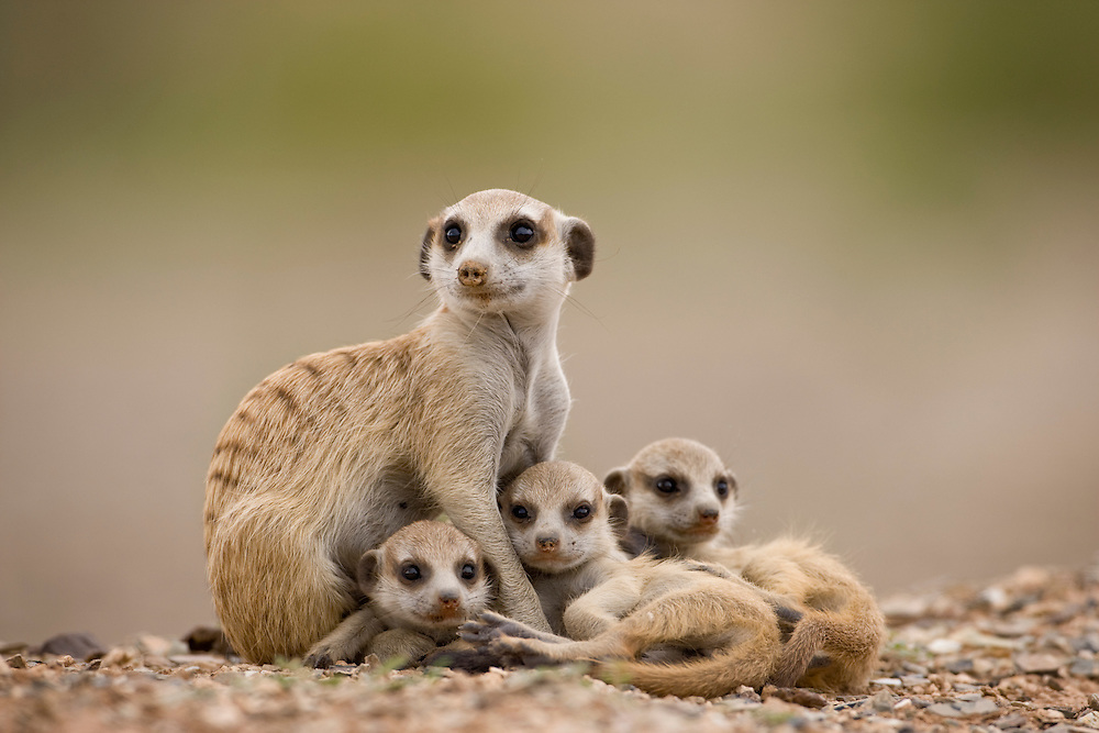 Africa, Namibia, Keetmanshoop, Adult Meerkat  with pups (Suricate suricatta)  resting outside burrow in Namib Desert