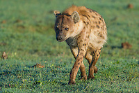 Spotted Hyena walking through open grassy veld, Addo Elephant National Park, Eastern Cape, South Africa