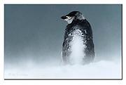 Snowy Chinstrap Penguin at Penguin Island, Antartctica.  Nikon D500, 200-400mm @ 400mm (600mm in full frame), f4, EV+0.33, 1/4000sec, ISO200, Aperture priority