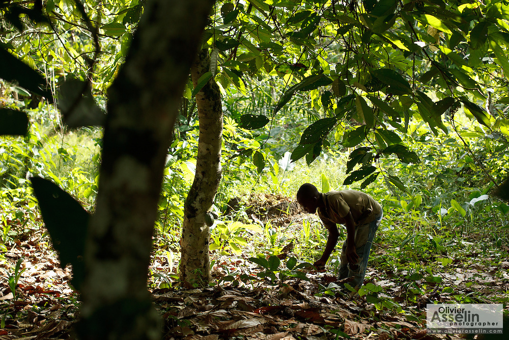 Kouassi Konan Cedric, 12, uses a machete to clear dry leaves under cocoa trees on his family's cocoa plantation near the village of Soumaorodougou, Bas-Sassandra region, Cote d'Ivoire on Saturday March 3, 2012. He goes to school but helps with farming chores on weekends.