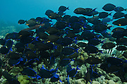 Blue Tang (Acanthurus coeruleus)<br /> BONAIRE, Netherlands Antilles, Caribbean<br /> HABITAT & DISTRIBUTION: Reefs often in large aggregations.<br /> Florida, Bahamas, Caribbean, Gulf of Mexico, north to New York, Bermuda & south to Brazil.