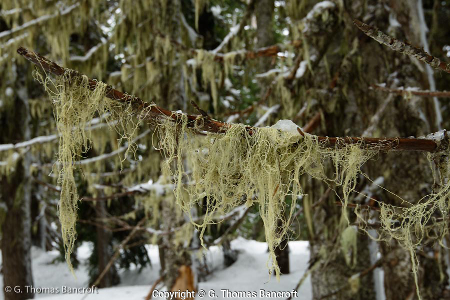 String lichens hung from branches like loose hair.