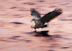White-tailed Eagle (Haliaeetus albicilla) in Smøla, Norway