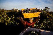 Grapes are harvested in the Bogle vineyard near Clarksburg, Calif., October 24, 2009.