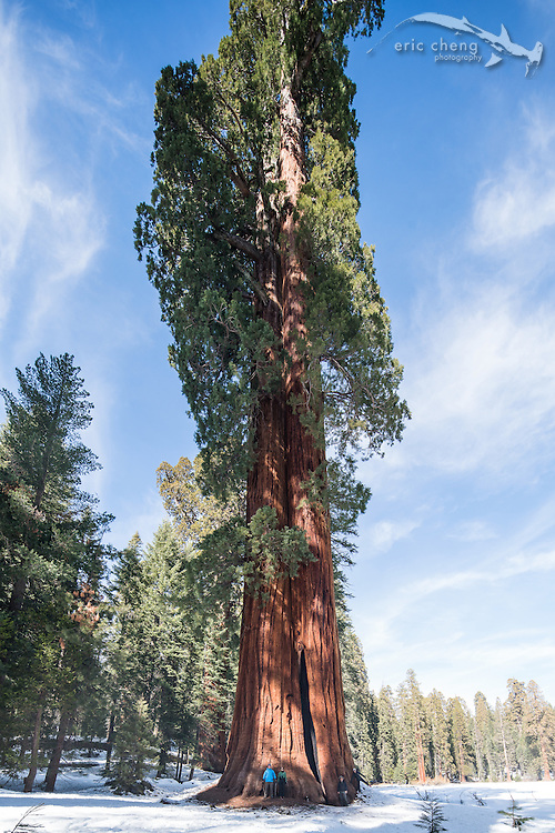 Clara Barton Tree in Sequoia National Park, California, photographed with a Canon 17mm TS-E tilt-shift lens (shifted, but not tilted).