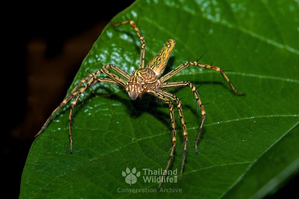 An Oxyopes sp. lynx spider. Unidentified. In Chaloem Phrakiat Thai Prachan National Park, Thailand.