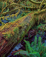 Ferns and mosses grow verdantly on a dead rainforest tree that has fallen across a stream, Hoh Rainforest, Olympic National Park, © 2000 David A. Ponton
