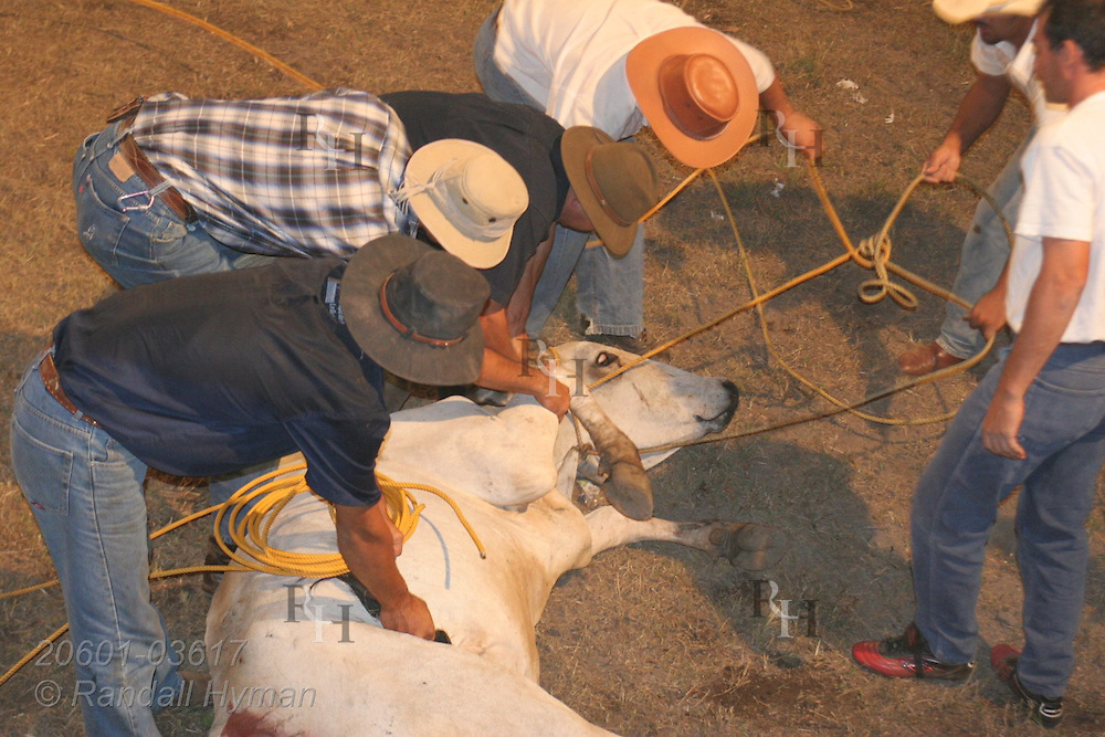 Cowboys gather around lassoed cow during competition at rodeo in Atenas, Costa Rica.