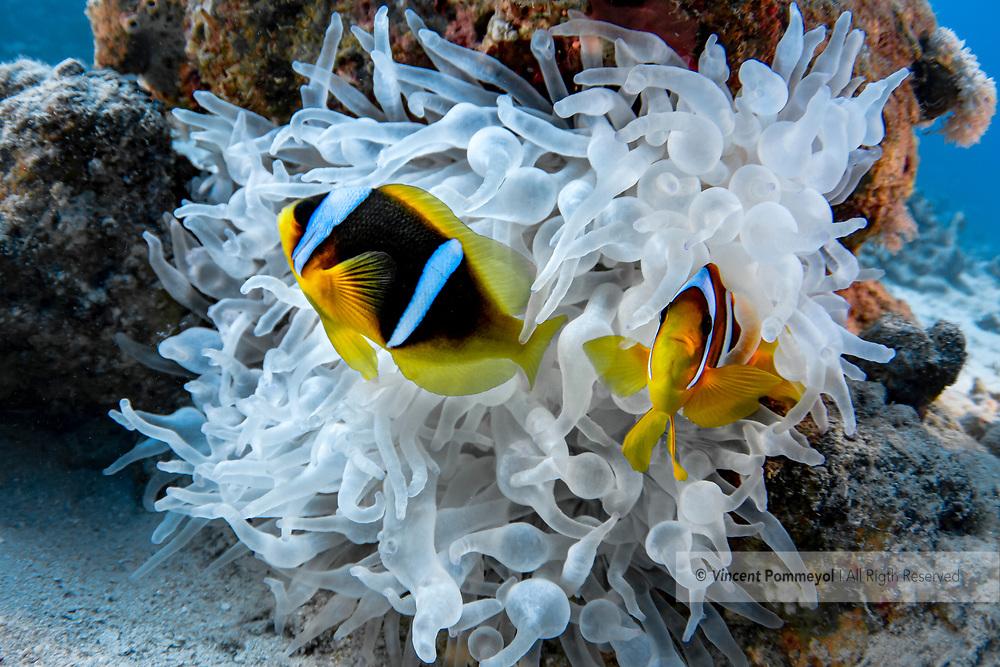 Clown fish-Poisson clown (Amphiprion bicinctus) and sea anemone (Actiniaria), Red Sea, Egypt.