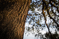 The rising sun lights the bark of a live oak tree at Oakleigh Mansion in Mobile, Ala., Thursday, Dec. 11, 2014.