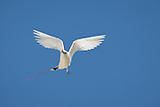 Red-tailed Tropic bird with wings up