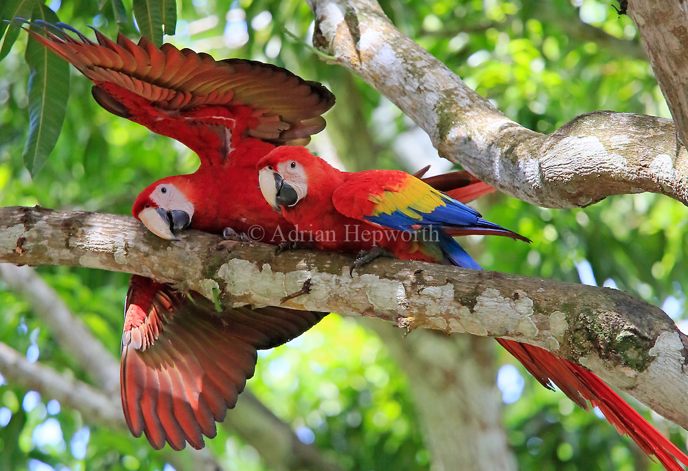 Pair of Scarlet Macaws (Ara macao). Guanacaste, Costa Rica. <br />