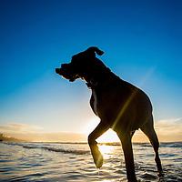Sunny the Boxer on Brighton beach