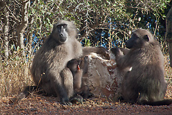 Baboon mothers