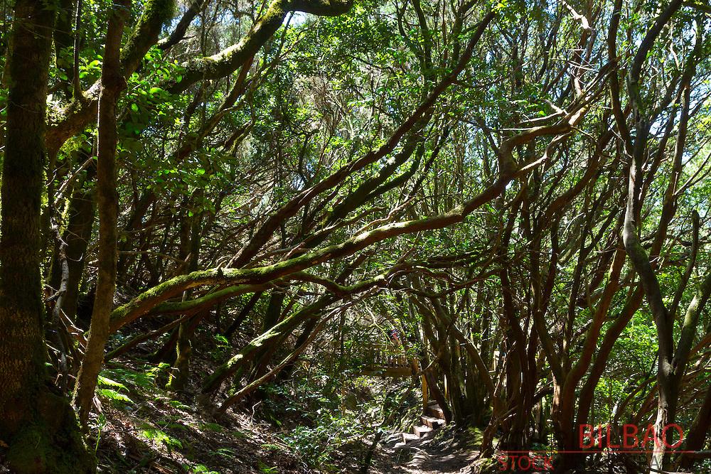 Laurel forest. Anaga Rural Park. Tenerife, Canary Islands, Atlantic Ocean, Spain.
