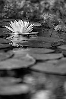 I thought this photo worked better in black and white. It is a picture of a water lily in Manteo North Carolina.