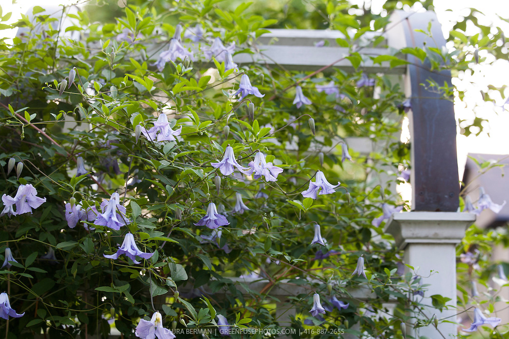 Clematis 'Betty Corning'