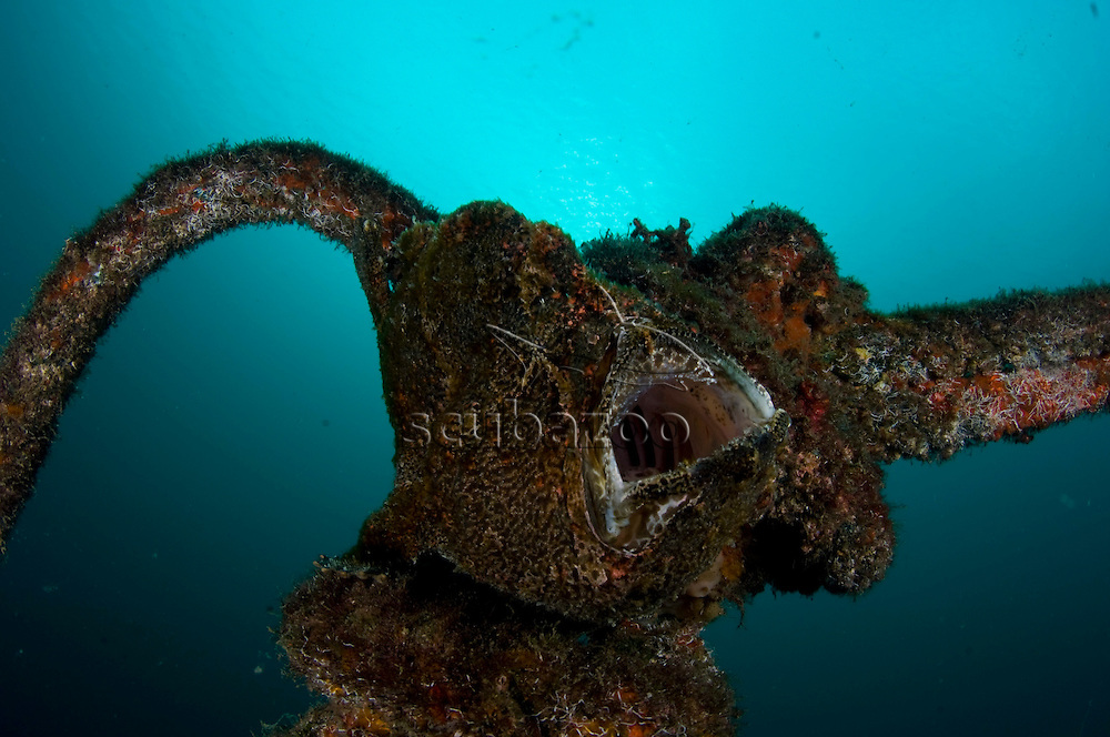 Giant Frogfish, Antennarius commersoni, yawning on old mooring rope, KBR, Lembeh Strait, Sulawesi, Indonesia.