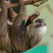 Sloth is hanging out preparing to feed.