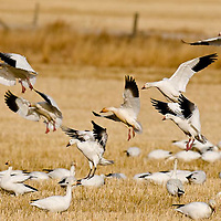 snow geese landing in grain filed summer fallow warm light