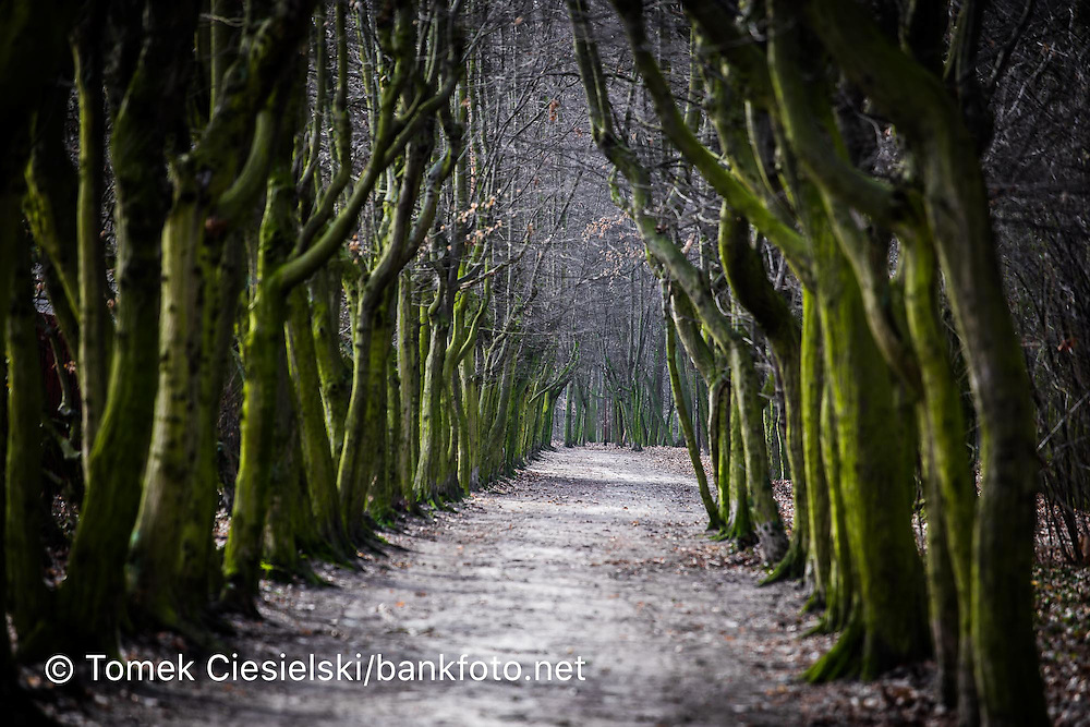Old carpinus path in Jarocin. One of the longest in Poland