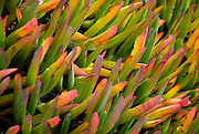 Point Reyes, California, January 28, 2007-Ice plants growing on sandy bluffs at the Point Reyes sea side.