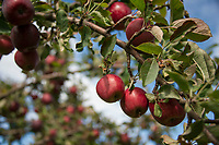 Stone Brook Farm Apple Season.  Karen Bobotas for the Laconia Daily Sun