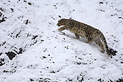 Leh - Sunday, Dec. 3, 2006: Adult male snow leopard (Unica unica) climbs snowy slope in Hemis National Park, Ladakh.  (Photo by Peter Horrell / www.peterhorrell.com).