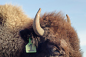 Bison Auction_Cannonball Ranch 12/15