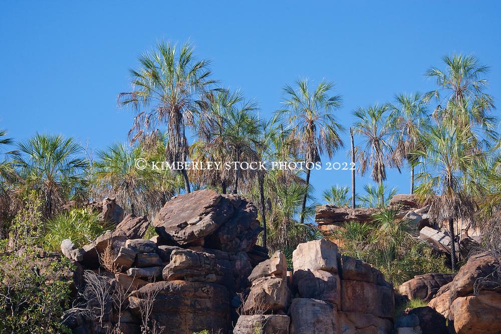 Livistonia palms (Livistonia eastonii) on a Kimberley hillside.