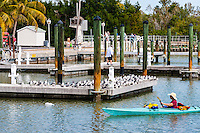 US, Florida, Everglades. The small town of Flamingo. Seagulls in the marina.
