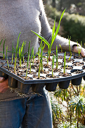 Planting out garlic. Carrying tray of plugs
