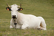 mountain cow resting