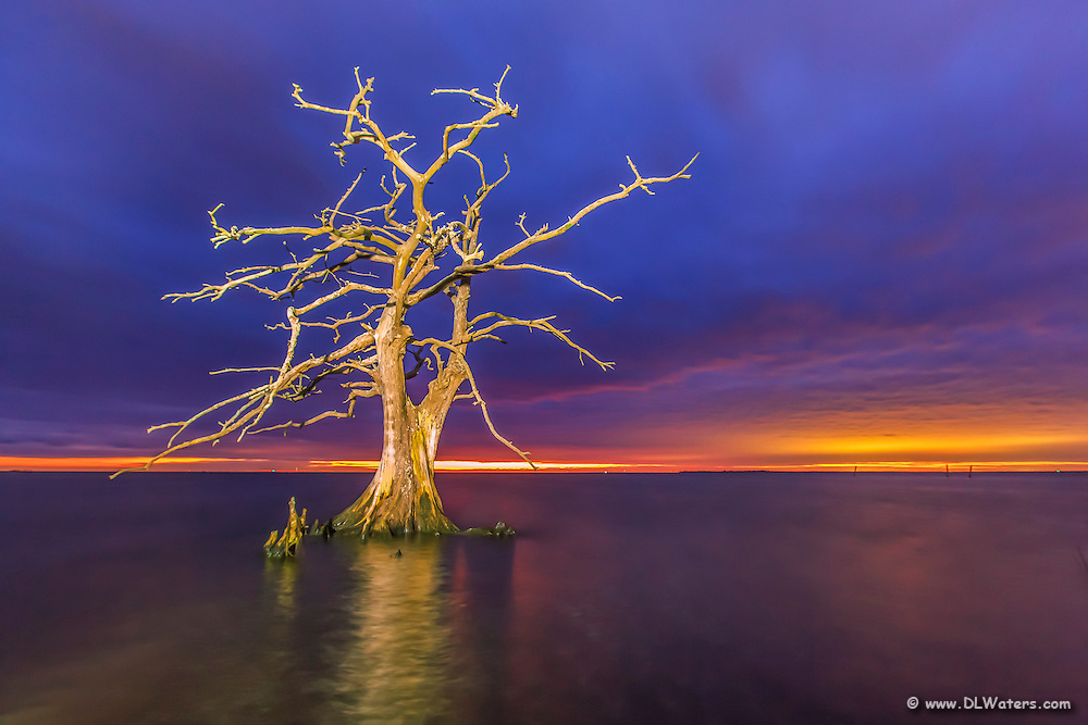 Lone cypress tree on  Currituck Sound, NC at sunset. Cypress trees can live up to 600 years and flourish on the shallow sounds of the Outer Banks of NC.