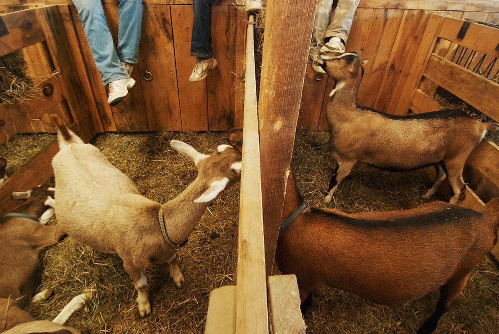 Children with their goats, 4H barn, Hopkinton NH State Fair.