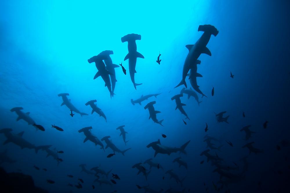 Schooling Hammerhead Sharks, Sphyrnidae mokarran, near Wolf Island, Galapagos Islands, Ecuador, South America