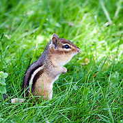 Chipmunk standing in grass